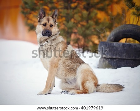 The dog a sheep-dog sits and protects. - stock photo
