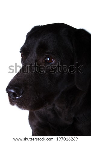The dog black labrador, isolated on white - Stock Image
