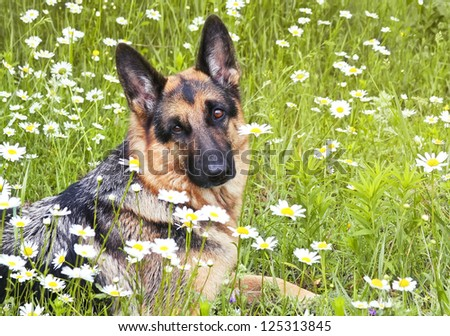 The dog, German shepherd lies on a glade in a green grass and flowers, in white daisies - stock photo
