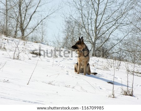 The dog, German shepherd sits on a snow-covered slope in clear frosty day - stock photo