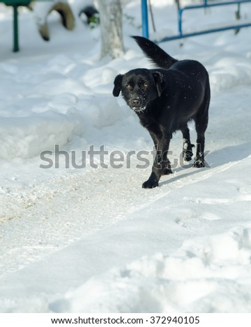 the dog goes through the snow - stock photo