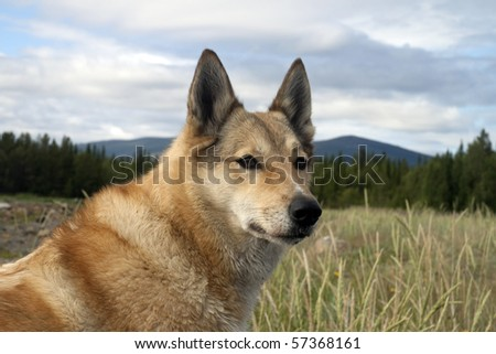 The dog Laika on the background of the forest. Summer. - stock photo
