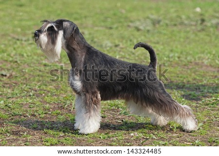 the dog of breed of mittelschnauzer demonstrates an excellent  exterior on a natural green background - stock photo