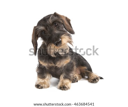 The dog ports a dachshund wire-haired dark-brown color sits on a white background.