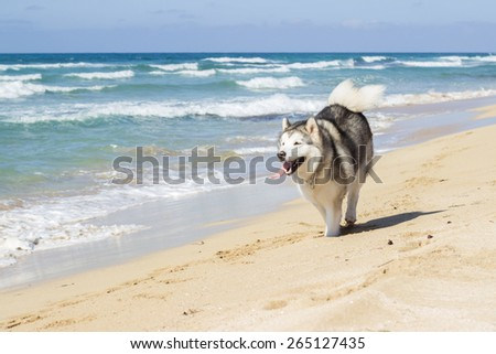 The dog running on sea beach