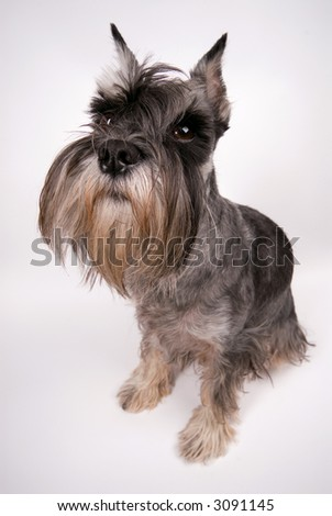 The dog sits on a white background
