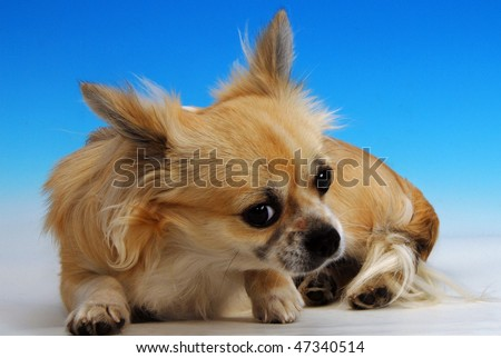 The dog sitting in front of a background in a studio - stock photo