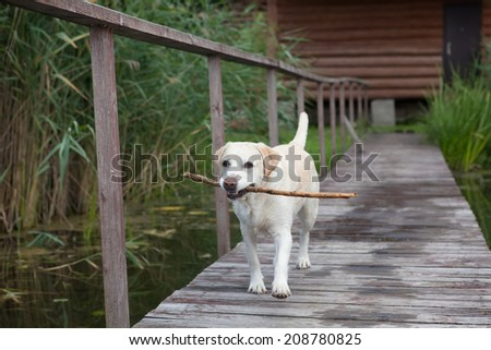 The dog the Labrador walks on the bridge