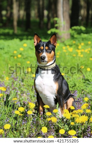 The dog three-colored black-white-brown breeds of the Basenji sits outdoors in a green grass with yellow dandelions.
