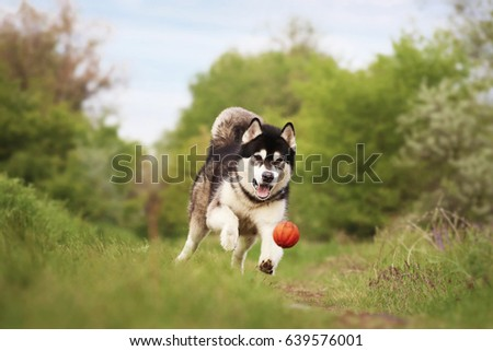 The dog with the ball. Alaskan Malamute running after an orange ball. Dog plays with a toy in the woods.