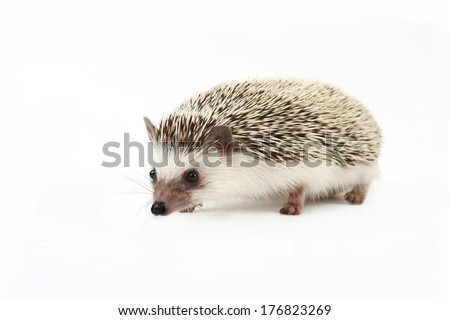 The domestic hedgehog isolated on a white background. - stock photo
