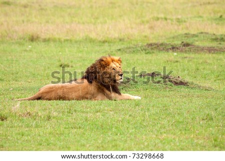 The dominant male of the Marsh Pride watching over the rest of his family in Kenya's Masai Mara national park - stock photo