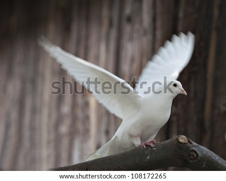 the dove family. - stock photo