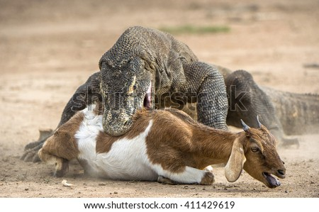 The dragon attacks. The Komodo dragon attacks the prey. The Komodo dragon, Varanus komodoensis, is the biggest living lizard in the world, Indonesia. - stock photo