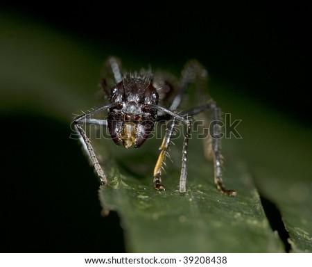 the dreaded costa rican venomous bullet ant - stock photo