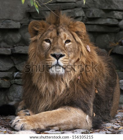 The dreamy look of an Asian lion in autumn fallen leaves, lying on rocky background. The King of beasts, biggest cat of the world. The most dangerous and mighty predator of the world.  - stock photo