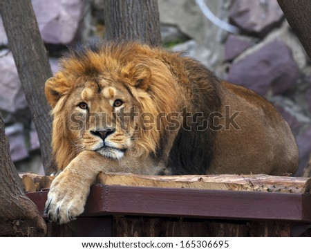 The dreamy look of an Asian lion, lying on rocky background. The King of beasts, biggest cat of the world. The most dangerous and mighty predator of the world.