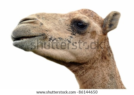 The dromedary or Arabian camel has a single hump. Dromedaries are native to the dry desert areas of West Asia. - stock photo