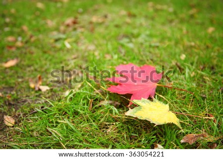 The dry maple leaf put on the ground floor represent the autumn and botany concept related idea. - stock photo