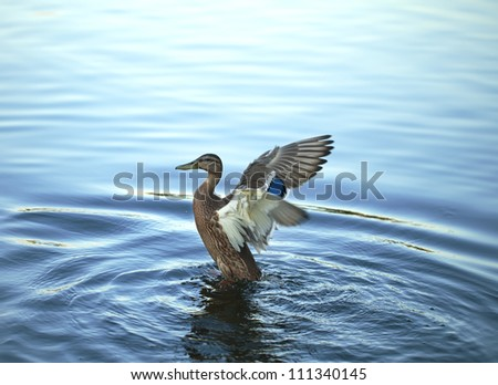 the duck limbers up wings floating in the river - stock photo