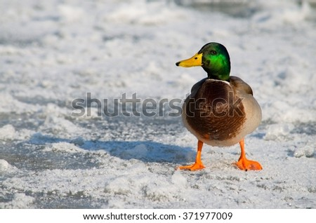 The duck on the ice - stock photo