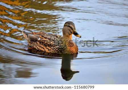 The duck swims on the lake