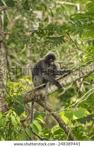 The dusky langur and camera action. - stock photo