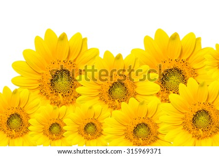 The Dwarf Sunflower isolated on white background