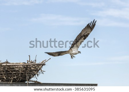 The eagle flies from the nest, Florida. - stock photo