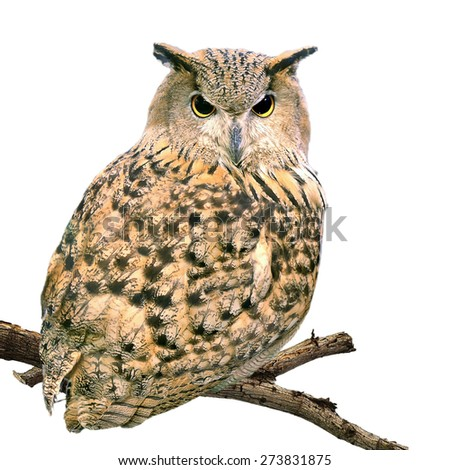 The Eagle Owl night bird barn owl stand on old dead tree isolated on white background. This has clipping path.