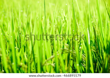 The ears of rice in paddy field in summer time. A big ground of green grass.