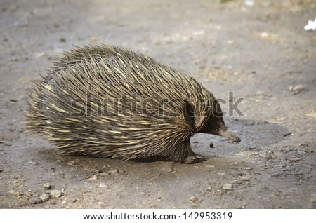 the echidna is walking across the path - stock photo