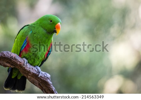 The Eclectus Roratus parrot has extreme dimorphism, where the female is mostly bright red and purple or blue plumage and male having a bright emerald green plumage. - stock photo