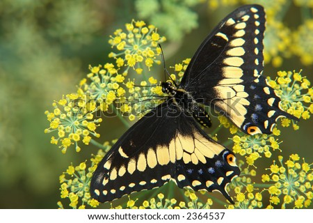 the ecuadorian butterfly sitting on flower - stock photo