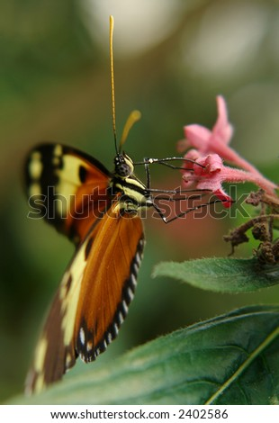 the ecuadorian butterfly sitting on the flower - stock photo