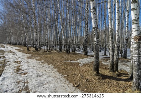 The edge of a birch grove on a sunny day in March.