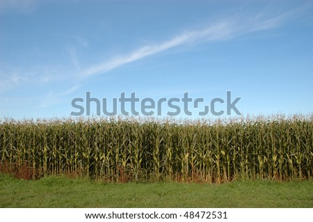 The edge of a corn maze on bright sunny day