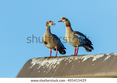 The Egyptian goose (Alopochen aegyptiaca) is a member of the family Anatidae that contain ducks and geese. - stock photo