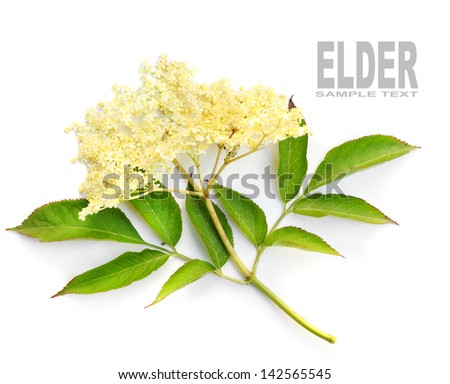 The Elder or Elderberry (Sambucus nigra).The flowers and berries are used most often medicinally against flu and fever, angina, etc. - stock photo