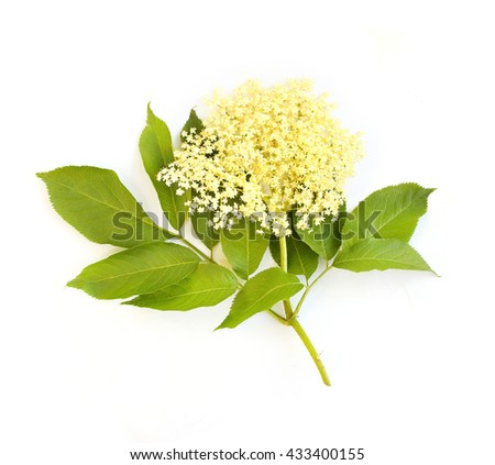 The Elder or Elderberry (Sambucus nigra).The flowers and berries are used most often medicinally against flu and fever, angina, etc. Flower isolated on white background. - stock photo