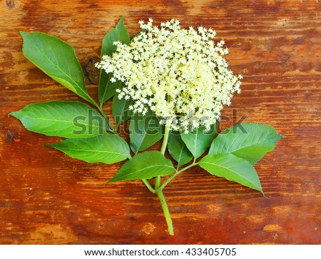 The Elder or Elderberry (Sambucus nigra).The flowers and berries are used most often medicinally against flu and fever, angina, etc. Flower on wooden plate. - stock photo