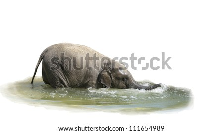 The elephant calf bathes in water-is isolated on the white - stock photo