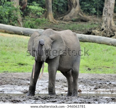 The elephant calf. The African Forest Elephant ( Loxodonta africana cyclotis) At the Dzanga saline (a forest clearing) Central African Republic, Sangha-Mbaere, Dzanga Sangha - stock photo