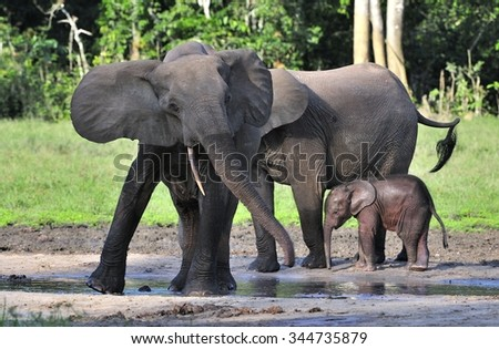 The elephant calf with  elephant cow. The African Forest Elephant (Loxodonta cyclotis) is a forest. dwelling elephant of the Congo Basin - stock photo