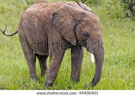 The Elephant in Kenya - stock photo