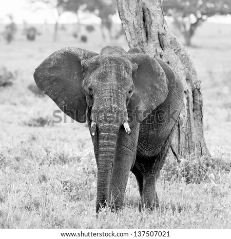 The elephant in the Serengeti National Park - Tanzania, East Africa (black and white) - stock photo