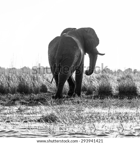 The elephant is on the banks of the Chobe river in national park Chobe, Botswana, South-Western Africa (black and white)  - stock photo