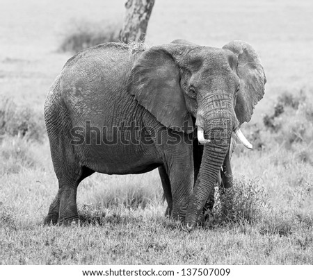The elephants in the Serengeti National Park - Tanzania, Eastern Africa (black and white) - stock photo