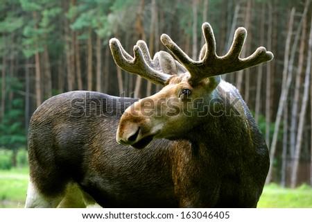 The elk in their natural habitat - stock photo
