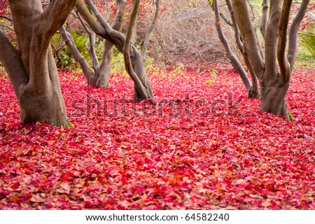 The entire forest floor covered with red leaves.  Five interesting shaped tree trunks in the middle of the frame.  Taken in November in Surrey, UK. - stock photo